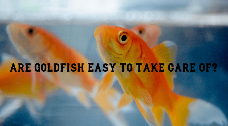 Are Goldfish Easy To Take Care Of?