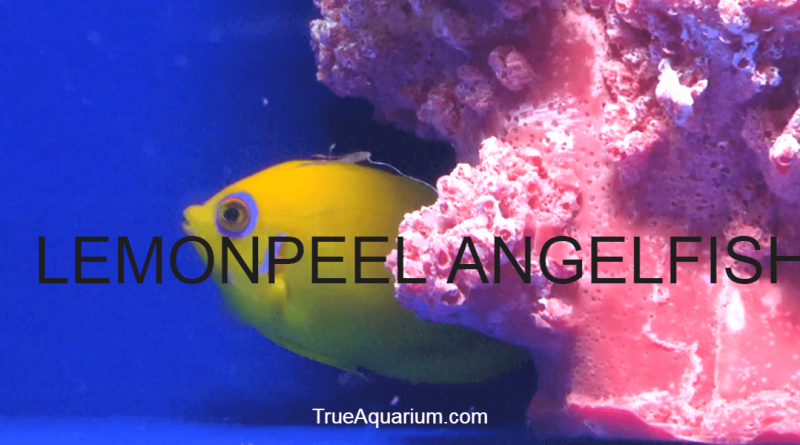 LEMONPEEL ANGELFISH - Habitat, Care, Breeding, Tank Mates