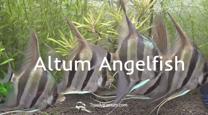 ALTUM ANGELFISH - Habitat, Care, Breeding, Tank Mates