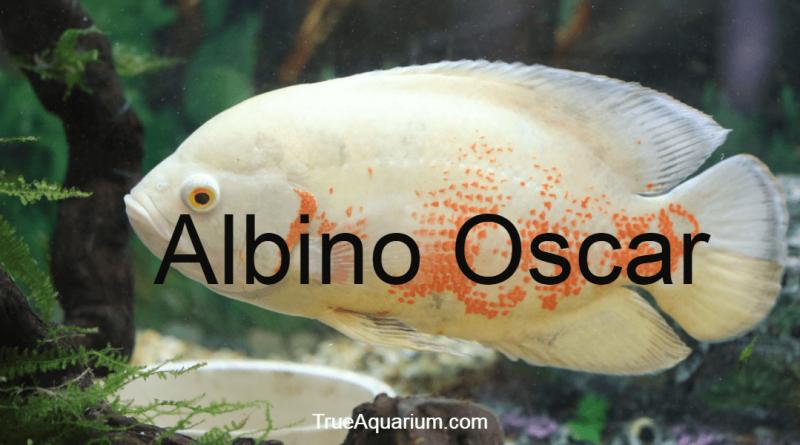 Albino Oscar - Complete Aquarium Guide