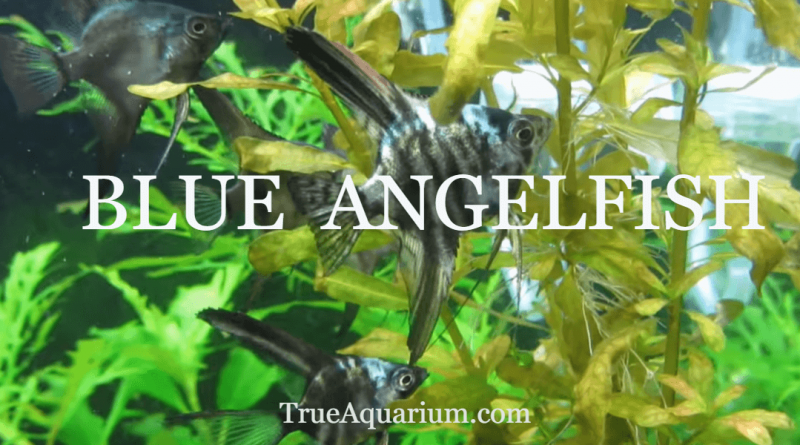 BLUE ANGELFISH - Habitat, Care, Breeding, Tank Mates