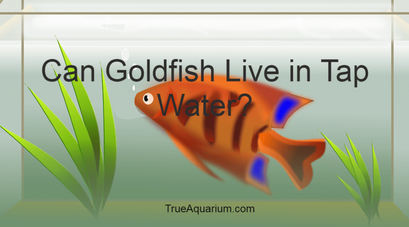 Can Goldfish Live in Tap Water