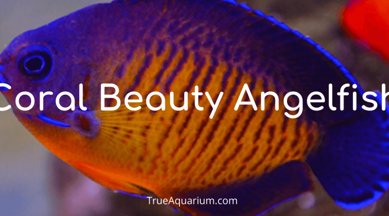 Coral Beauty Angelfish - Habitat, Care, Breeding, Tank Mates