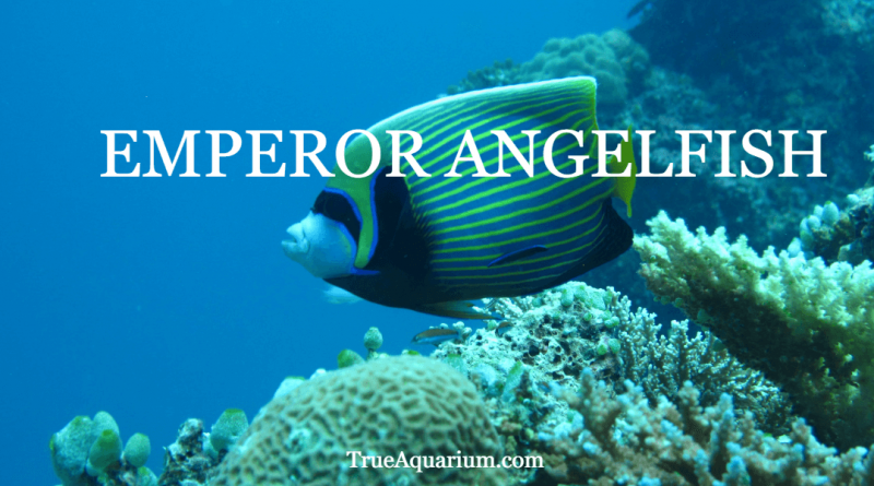 EMPEROR ANGELFISH - Overview, Habitat, Tank Mates and Diet