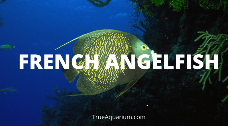 FRENCH ANGELFISH - Habitat, Feeding, Aquarium Setup