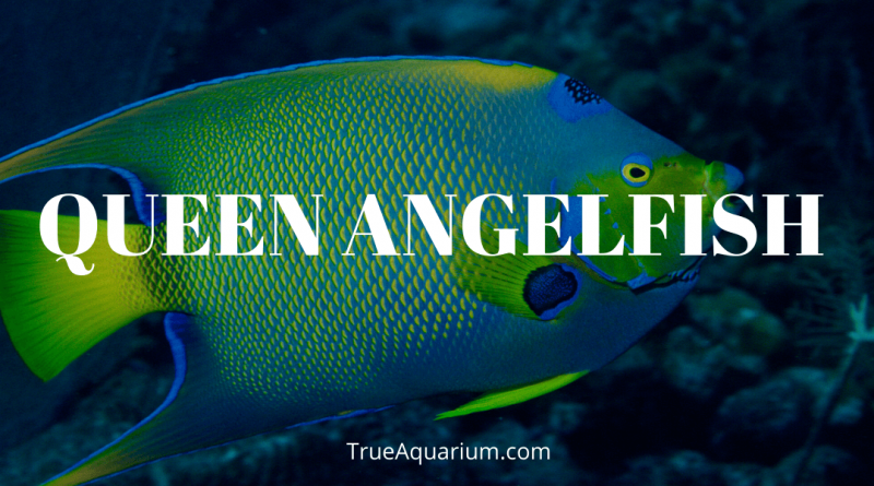 Queen Angelfish - Habitat, Care, Breeding, Tank Mates