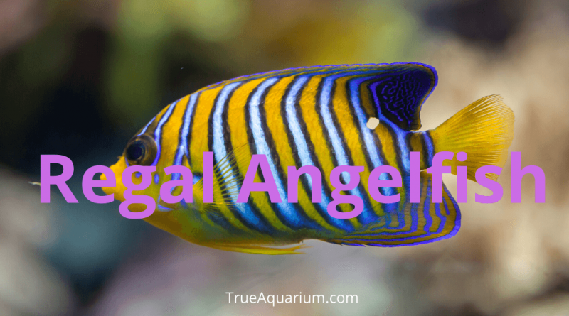 Regal Angelfish - Habitat, Care, Breeding, Tank Mates