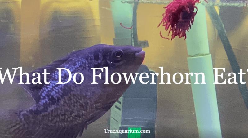 What Do Flowerhorn Eat?