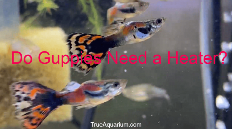 Do Guppies Need a Heater