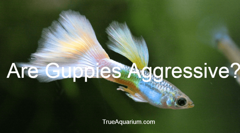 Are Guppies Aggressive?