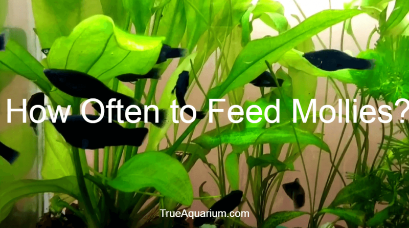How Often to Feed Mollies