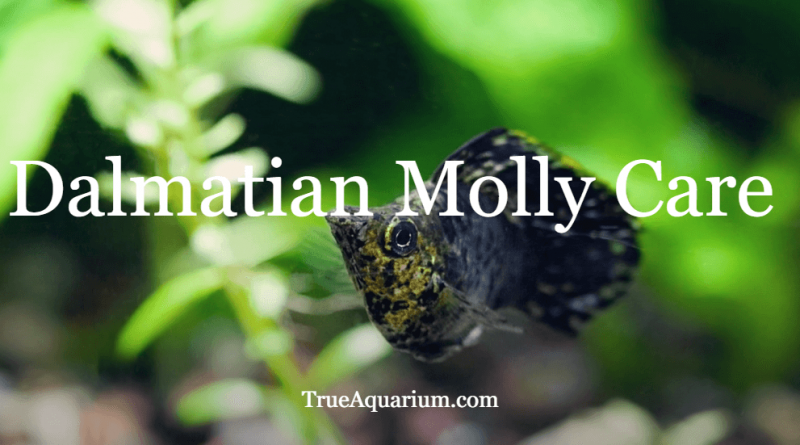 Dalmatian Molly Care - Overview, Tank Requirements, FAQs
