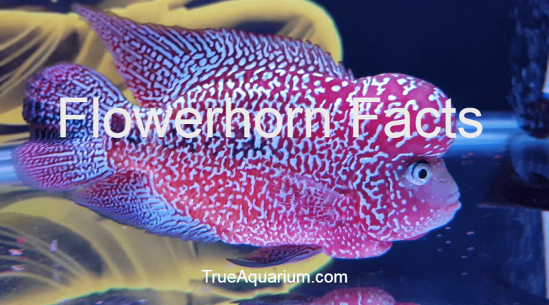 Flowerhorn Facts