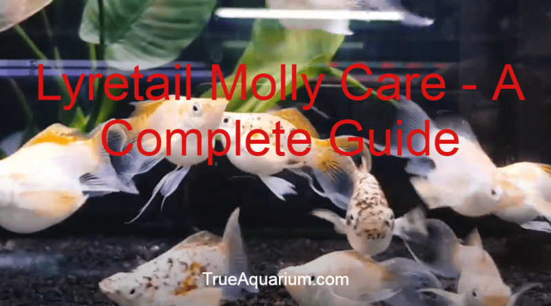 Lyretail Molly Care - A Complete Guide