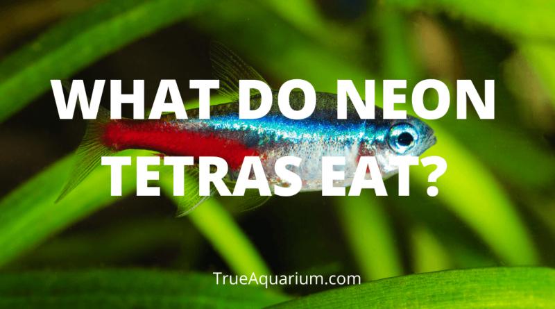 WHAT DO NEON TETRAS EAT