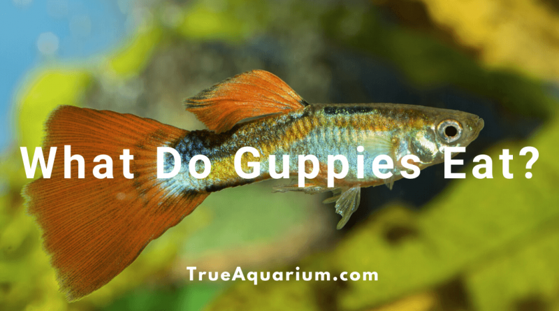 what do guppy eat?