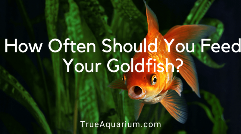 How Often Should You Feed Your Goldfish