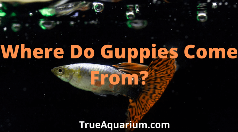 Where Do Guppies Come From