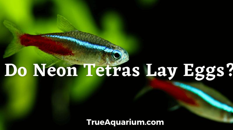 Do Neon Tetras Lay Eggs