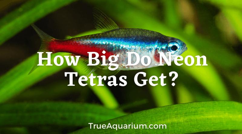 How Big Do Neon Tetras Get