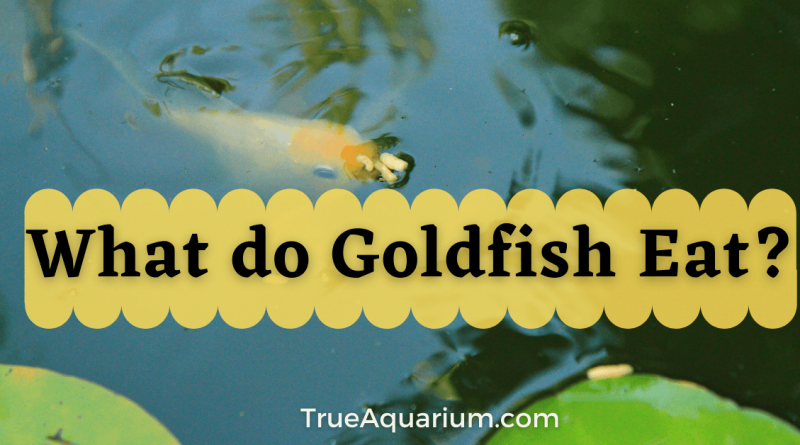 What do Goldfish Eat in the Wild?