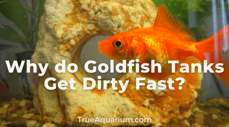 Why do Goldfish Tanks Get Dirty Fast?