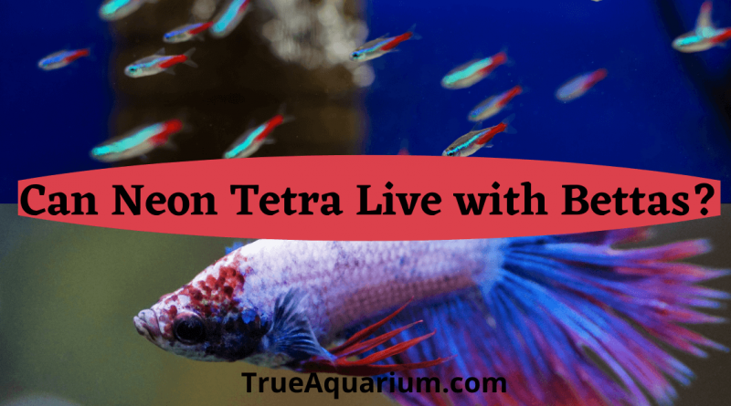 Can Neon Tetra Live with Bettas