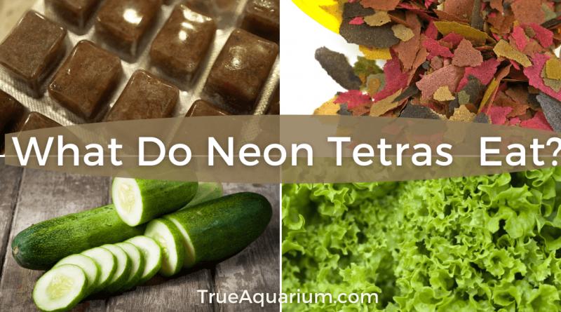 What Do Neon Tetras (Paracheirodon innesi) Eat