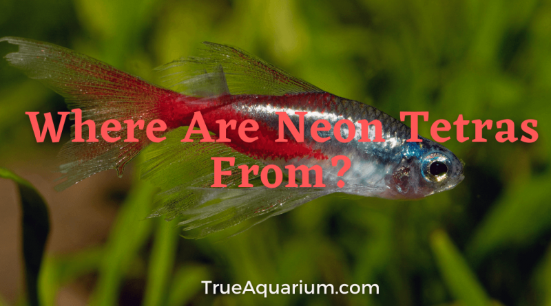 Where Are Neon Tetras From