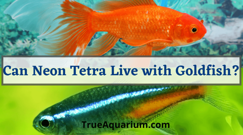 Can Neon Tetra Live with Goldfish